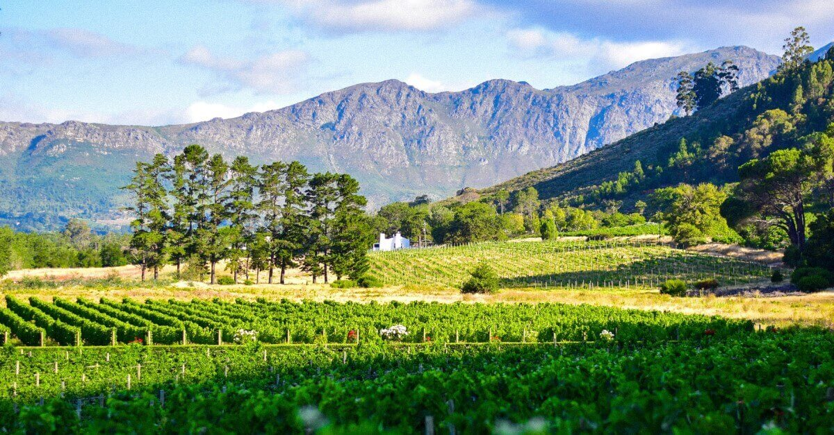 Weinstöcke vor Bergkette in Südafrika