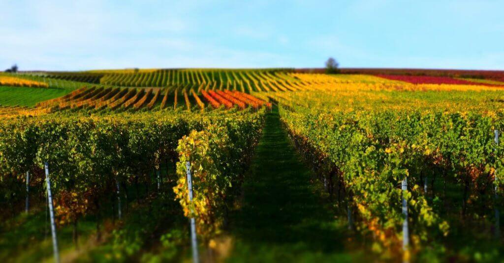 Blick auf die Weinberge mit bunt gefärbtem Laub in Rheinhessen